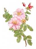 Constance Sayas_Rosa gallica ' Versocolor'_watercolor