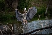 Blue Heron by Gerry Morrell