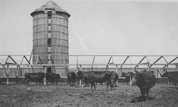 Cattle in a corral in front of a wooden silo