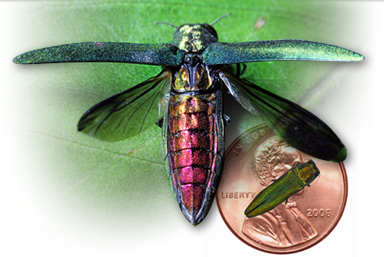 emerald ash borer next to penny